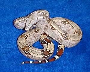 苏里南红尾蚺_不同地区的红尾蟒 - 蟒蛇、蚺 爬行天下