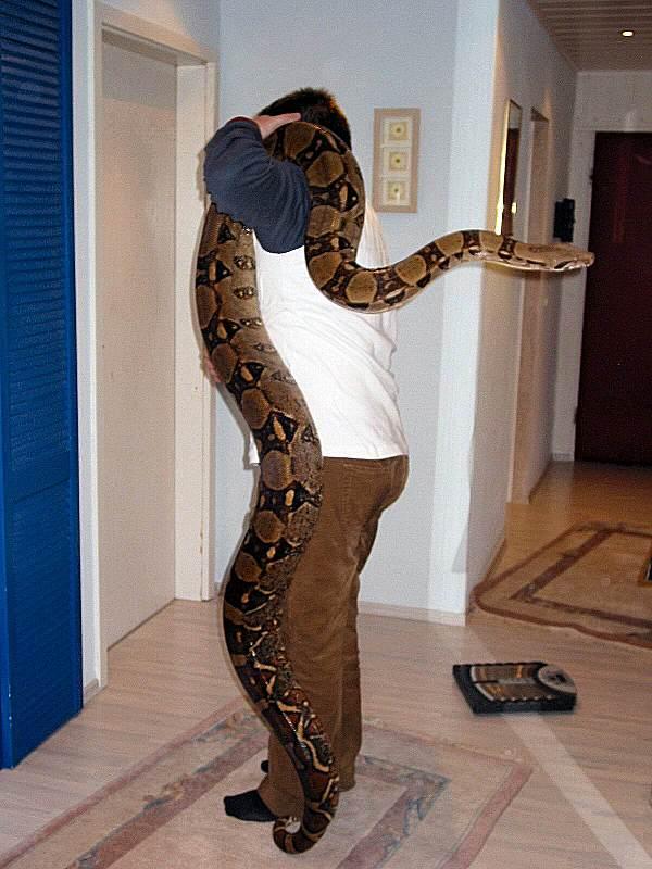 Size Of A Boa Stockl Die Nr 1 Boa Constrictor Seite Im Internet