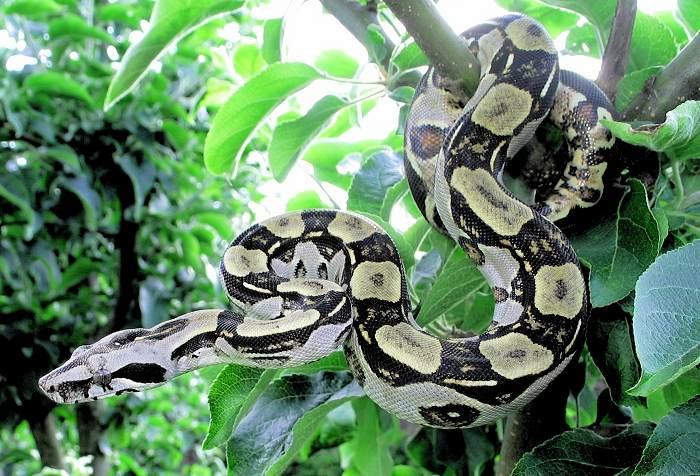 black boa constrictor