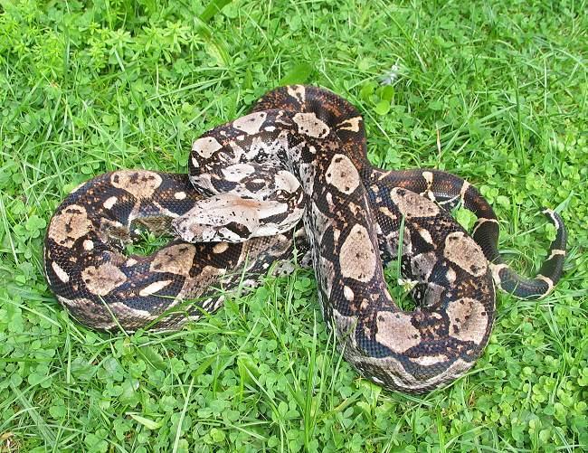 Boa Constrictor Imperator vs Boa Constrictor Constrictor Boa c Imperator Belize Crawl