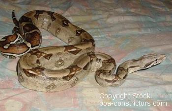 Boa c. constrictor Venezuela