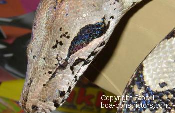 Crawl Cay Boa Belize