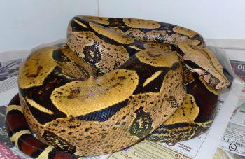 Galerie Boa constrictor constrictor Brasilien
