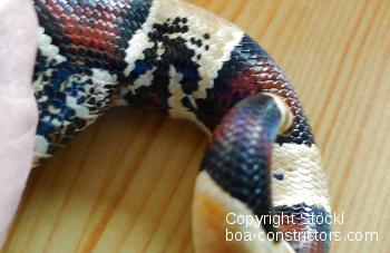 Boa constrictor amarali