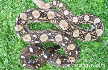 Crawl Cay boa Belize