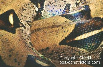 Boa c. constrictor Colombia - Colombian redtail boa