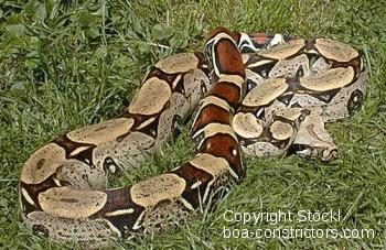 Boa c. constrictor Peru Peru Rotschwanzboa