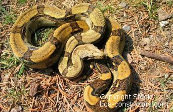 Boa c. longicauda high-yellow