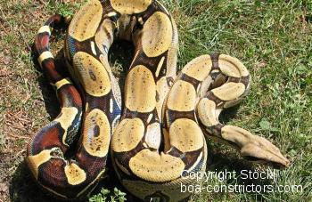 Peru Rotschwanzboa Boa c. constrictor Peru