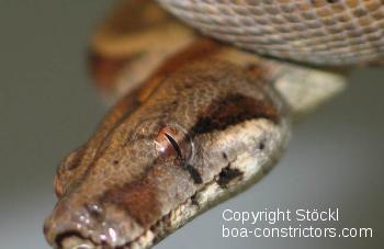 Boa_constrictor_sabogae