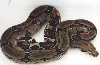 Boa c. constrictor Trinidad - Trinidad redtail boa